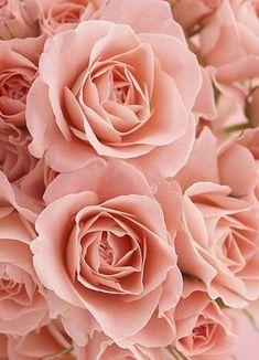 Pale Peach Roses - Essence Ps Wallpaper, Flower Wallpaper, Love Rose, Pretty Flowers, Pink Roses, Pink Flowers, Bouquet Flowers, Rose Pastel, Bloom