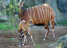 From Getty: A two week-old Eastern Bongo calf walks beside her mother at Sydney's Taronga Zoo on April 13, 2012. Eastern (or Highlands) Bongos are critically endangered with as few as 75 remaining in small groups of 6 to 12 animals in their Kenyan upland range. Bongo are one of the largest species of antelope in the world and are recognised by their striking russet colour and large antlers which extend over their backs. AFP PHOTO/William WEST