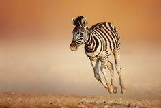Baby Zebra on the run
