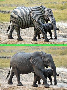 Fake - Zebraphant - The original image is on the bottom.