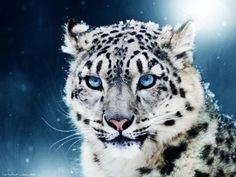 Fondos de Pantalla de Leopardo en la nieve