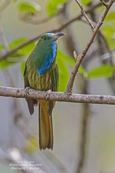 BLUE-BEARDED BEE-EATER - Nyctyornis athertoni . . . Indian Subcontinent, parts of SE Asia