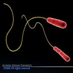2 Legionella pneumophila bacteria: It cause Legionnaires' disease. Rod-shaped Gram- negative bacilli with a single motile flagellum.  Legionella Bacteria 3D Model by tartino