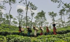 8 Things you'll have to know about the future of tea