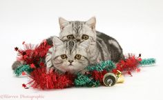 Silver tabby Exotic kittens with Christmas tinsel and bells. Description from warrenphotographic.co.uk. I searched for this on bing.com/images Christmas Tinsel, Christmas Kitten, Christmas Wallpaper, Exotic, Kittens, Silver, Animals, Image, Cute Kittens