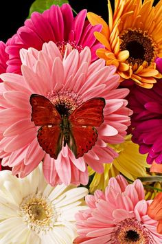 ~ Pink and Yellow and Rose and Many More Colors of Gerbera Daisies and Their Lovely Red Butterfly ~