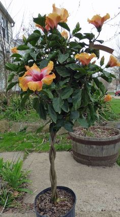 Hibiscus plants bring a tropical feel to the garden or interior. The braided hibiscus topiary forms a slender trunk with a closely cropped ball of foliage at the top. Read this article to find out more. Hibiscus Tree Care, Hibiscus Bush, Growing Hibiscus, Hibiscus Garden, Hibiscus Plant, Hibiscus Flowers, Tropical Garden, Exotic Flowers, Tropical Plants