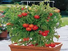Container Gardening Ideas patio garden tomato plant - Live in a small space? Interested in container gardening? Check out these tips and learn which plants grow best in small spaces like an apartment patio. Growing Tomatoes In Containers, Growing Vegetables, Grow Tomatoes, Garden Tomatoes, Cherry Tomatoes, Fresh Vegetables, Growing Plants, Organic Gardening, Gardening Tips