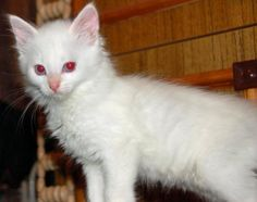 albino! Beautiful cat. I do not know if it is just this cat or more. What a beauty. The eyes really stand out.