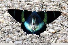 Uraniidae - Pesquisa Google