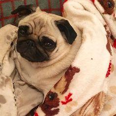 Good Morning MacPals! I'm gonna snuggle for a little bit longer as I'm not ready to Saturday yet but I hopes you all have a snortulous weekend ❤️❤️ #suziemacpug #pug #pugs #pugstagram #instapug #dogsofinstagram #puglove #pugsofinstagram #pugsproud_feature #ilovemypug #thetomcoteshow #dogs #pugsrequest #cute #pugbasement #speakpug #pictureoftheday #instadaily #instagood #instalike #vinnythepug #obsessedwithpugs #smilingpugs #badasspugclub #qtpugs #flatnosedogsociety #purepugspp…