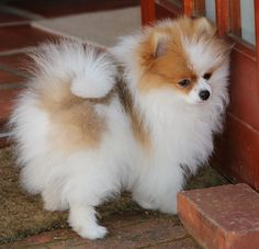 Pomeranian Puppy Yorkshire Terrier Pomeranian Puppy Yeontan Source by The post Pomeranian Puppy Yeontan appeared first on Dolan Dogs. Cute Puppies, Cute Dogs, Dogs And Puppies, Doggies, Parti Pomeranian, Pomeranians, Cute Baby Animals, Animals And Pets, Little Dogs