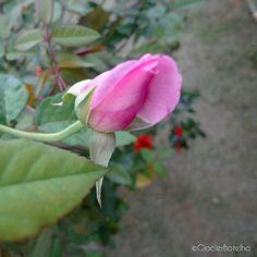 {50/365} One more rose bud. ----- Mais um botão de rosa.  #500px #glocierbotelho #photographer #photographyofday #photo #photography_nature #picture #nature #natureza #mushroom #garden #flowers #photooftheday #amazing #picoftheday #rosebush
