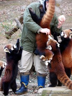 apple slice distributor swarmed by ravenous red pandas