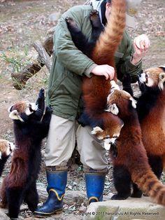 Defenseless apple slice distributor swarmed by ravenous pandas : redpandas