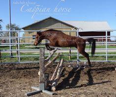 Caspian horse, mare Lanhill Felicity b: 2010 sire: Hopstone Shabdiz dam: Lanhill Fleurie