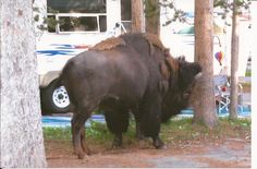 Bison paying visit to rv park, Yellowstone.