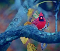Cardinal Outdoor Photography Birds Winter by WendyValentinePhotos on Etsy.