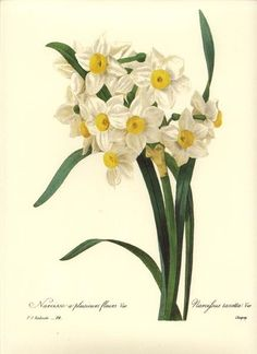 Redoute Botanical Flower Print ~White Narcissus