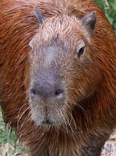 Capybara. - The capybara is the largest rodent in the world, followed by the beaver, porcupine, and mara. Its closest relatives are guinea pigs and rock cavies, and it is more distantly related to the agouti, chinchillas, and the coypu...