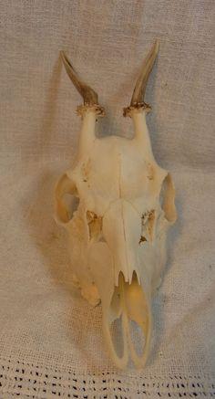 Vintage German Taxidermy / Deer Antler with Skull Part Unmounted #13