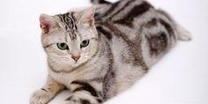 Cập nhật thông tin về mèo Mỹ lông ngắn