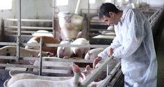 farmer tending to pigs