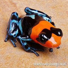 Dart Frog Connection - Benedicta Nominant Color: Red, Black, and Blue  Size: Small- Reaching up to 3/4 inch or larger.  Locality: Found in the rainforest of Peru  Difficulty: Intermediate  Temperature: range between 70-80 degrees Fahrenheit  Humidity: 60%-80%  Behavior: Shy- Arboreal- Loud Call- Does fine in groups  Terrarium Setup: 1 square ft per frog- Arboreal