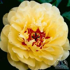 Paeonia 'Yellow Waterlily'