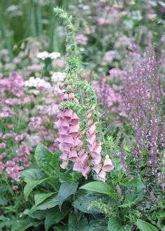 Digitalis × mertonensis - This striking and robust short-lived perennial that is a hybrid between the pink flowered D. purpurea and the yellow flowered D. grandiflora. The resulting plant produces bell-shaped flowers in late spring and early summer, which are an intriguing mix of the two shades.