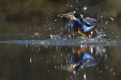 Kingfisher reflection by Marco Redaelli on 500px