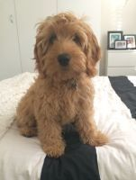 Banksia Park Puppy Review Chino, love, cute, puppy, new, happy, Spoodle