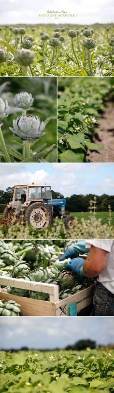 Bretagne, terre agricole  artichaut | Finistère Bretagne