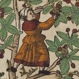 """1580 """"Cherry tree"""" Kreutterbuch, (Strassburg, 1580)  Author: BOCK, Hieronymus (1498–1554) Artist: David Kandel. Hieronymus Bock is one of the three German Fathers of Botany.The first edition of his herbal was published in 1546 with 550 woodcuts by David Kandel."""