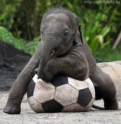 Baby elephants love football.
