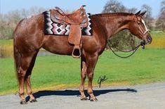 Appaloosa, Westerns, Horses, Animals, Animales, Animaux, Animal, Animais, Horse