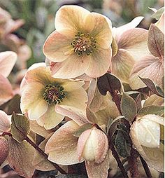 Hellebore Ivory Prince  Partial Sun, Shade...1 ft at maturity  Long blooming/blue green foliage