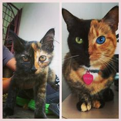 TwoFaces Exotic Pinterest Exotic - Venus two faced cat