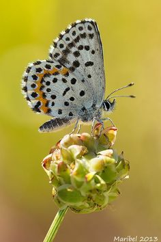 The Chequered Blue butterfly (Scolitantides orion), belongs to the Lycaenidae family of gossamer-winged butterflies. The male is 13 to 16 mm, and flight takes place in July. The butterfly lives in rocky areas up to 1000 m of altitude, on plants such as Sedum telephium and Sedum album. It is found in Spain, France and all the way to Japan.#butterflies #mariposas