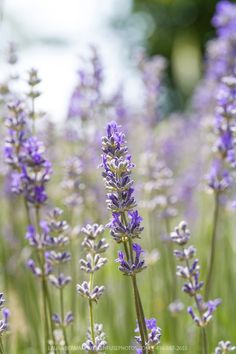 Search Results for 'lavandula ' Lavender Garden, Lavender Fields, Lavender Flowers, Purple Flowers, Beautiful Gardens, Beautiful Flowers, Herbs Image, Plant Fungus, Flower Pictures