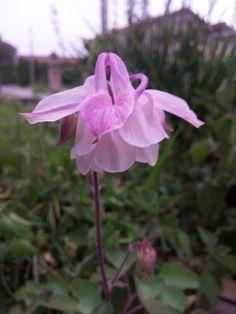 primo piano di un'altra varietà di aquilegia rosa