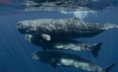 ONU debate medidas para proteger baleias de embarcações