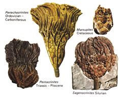 Fossil sea lilies or crinoids