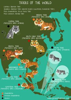 Tigers of the World: The tiger is undoubtedly the world's favourite animal, but many of us are probably not aware of the fact that the species is distributed into 9 sub-species across South and South-East Asia and the Russian Far-East (I myself could never recall the 9 names each time someone asked me what the races were, and so I decided to draw this poster!). These are the Siberian, Caspian, South China, Bengal, Indochinese, Malayan, Sumatran, Javan and Balinese Tigers...