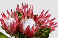 Red protea flower bunch isolated on a black background Premium Photo Protea Art, Protea Flower, Bunch Of Flowers, Pretty Flowers, Decoupage Wood, Flower Art, Art Flowers, Flower Frame, Beautiful Fruits