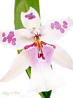 Blumenbild auf Leinwand oder Kunstdruck weißer Orchidee