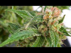 The Beginner's Guide To Growing Marijuana For Beginners