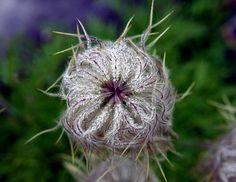 (DG - FF) western anemone