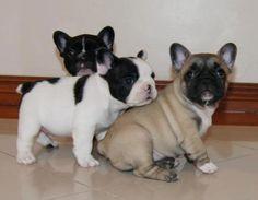 .i want a French Bulldog too