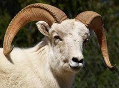 Afbeeldingsresultaat voor ram sheep
